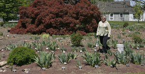 Carol Ann Moyer works in the iris garden at Delaware Valley College that will bear her name.