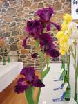 Highlight for Album: Tall Bearded Iris